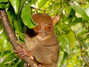 Charts Resort & Art Cafe Panglao Island - Surroundings - Philippine Tarsier