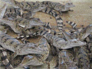 Leslie's Palawan Tropical Hotel, Resort and Restaurant Puerto Princesa City - City Tour - Crocodile Farm