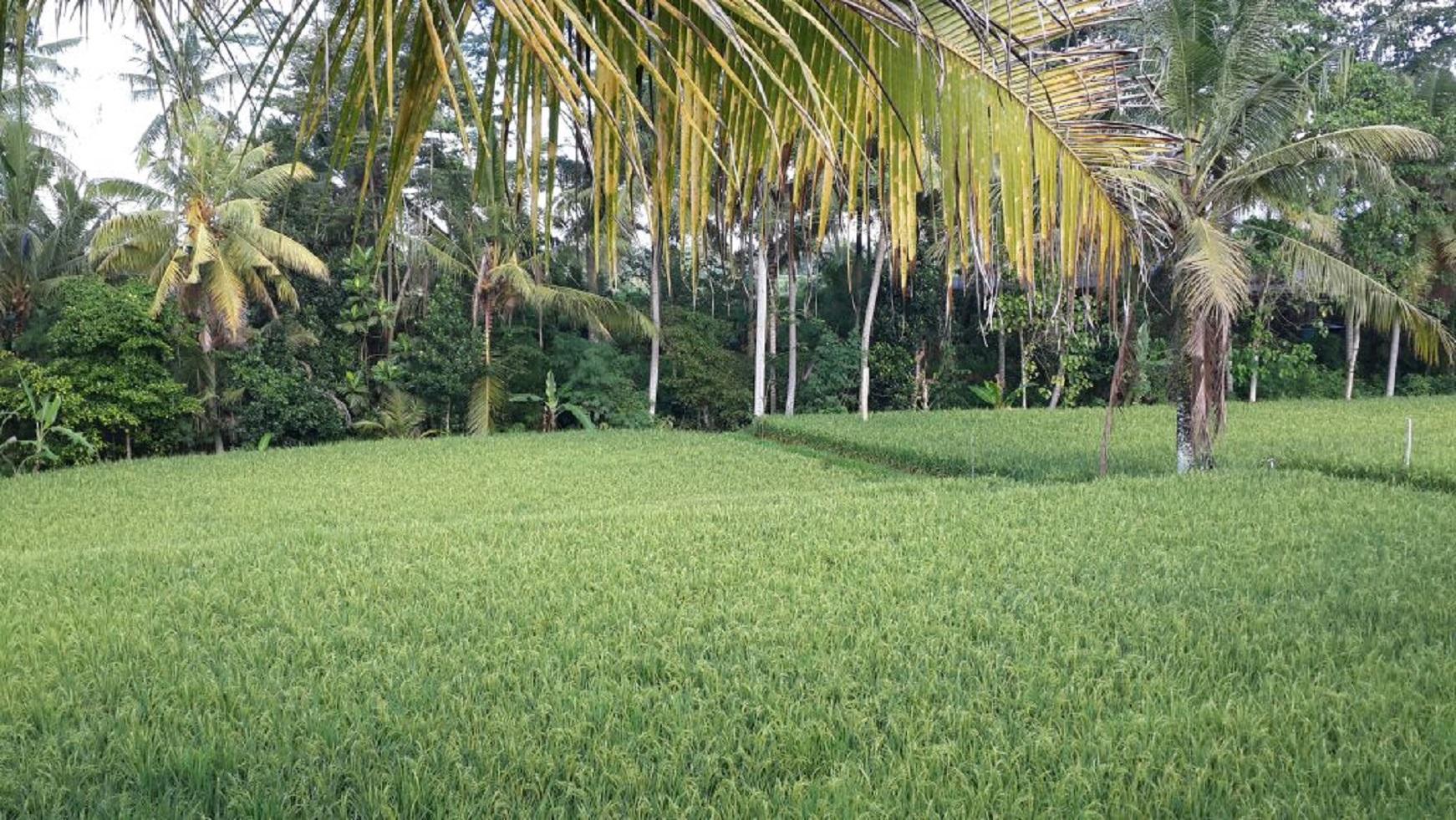 The Aura Ubud   Honeymoon Villa W Rice Field View.